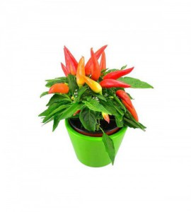 Pimiento Ornamental Mc Color