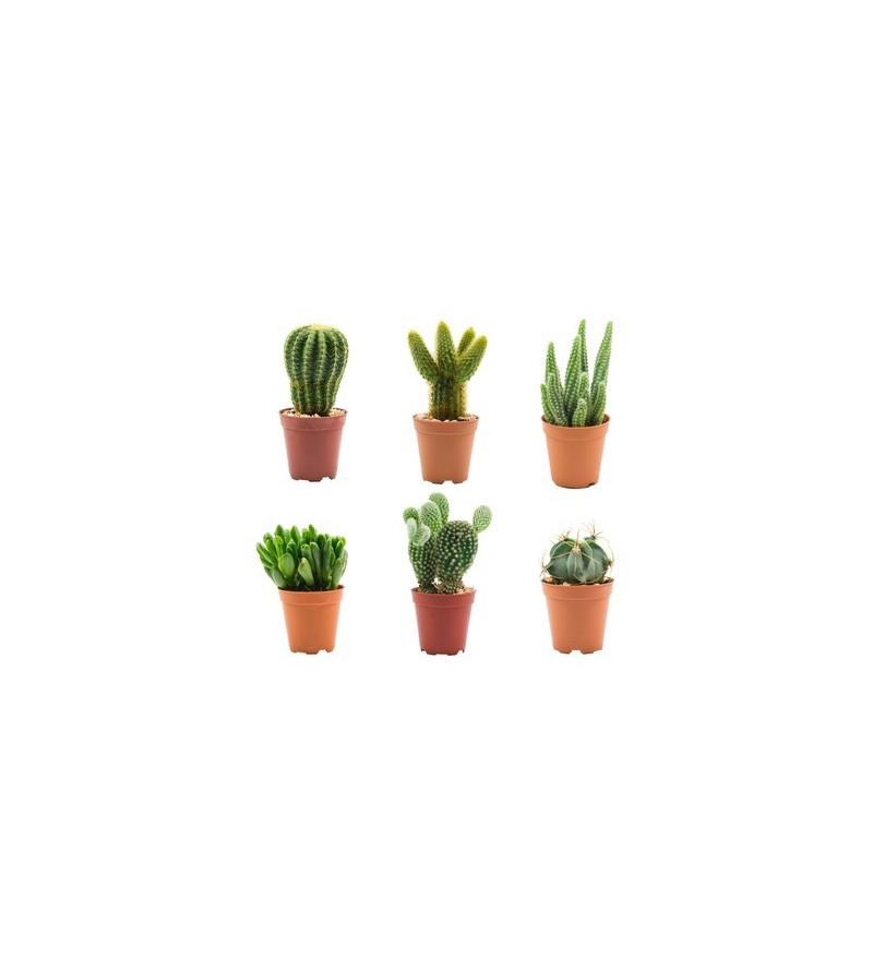 Surtido Cactus  mc 5'5