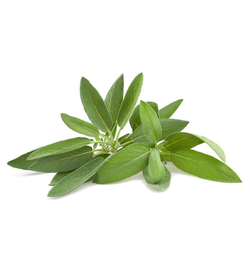Salvia Común